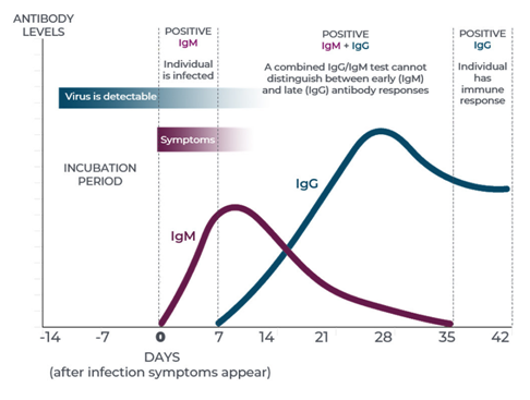 Evolución Anticuerpos a lo largo de la infección por COVID-19